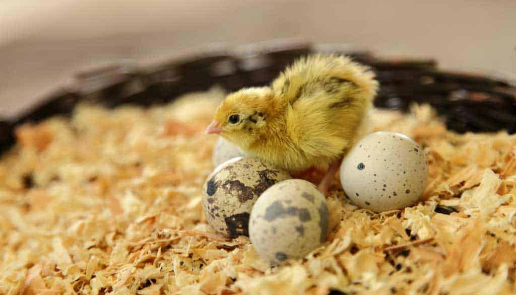 quail chick next to eggs