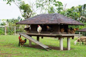 chicken coop in backyard