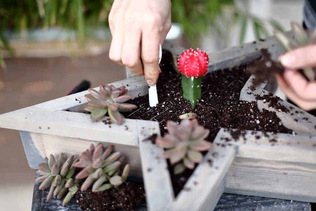 planting succulents in the star planter